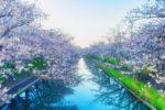 八王子グリーンテニスクラブの桜が満開に。