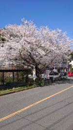 寺田町の桜が咲きました。