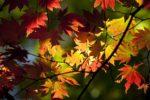 奥多摩の紅葉は今週の後半が見頃ですね。